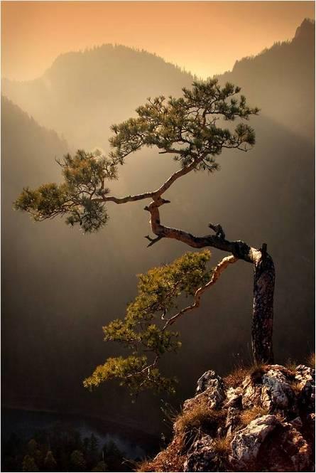 Japan pine-tree