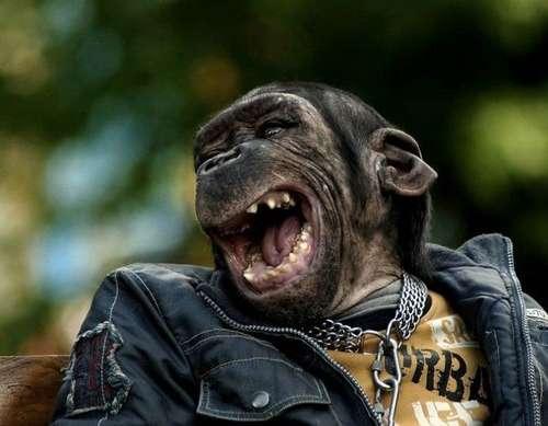 О шимпанзатых