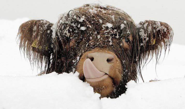 Снежная корова