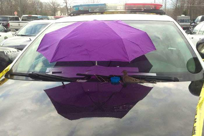 Гнездо голубя в полицейской машине