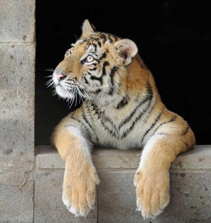Спасение тигрицы