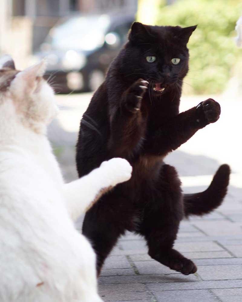 Кошачье кунг-фу